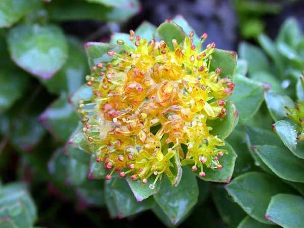 Rhodiola rosea danger