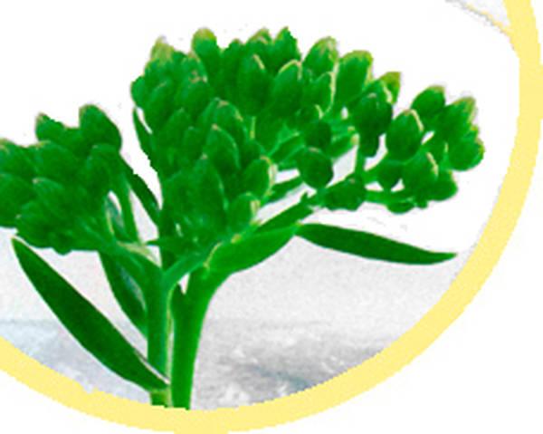 rhodiola bienfaits