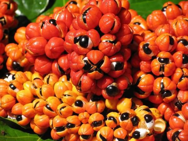 guarana aphrodisiaque